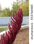 Small photo of Cultivar amaranth (Amaranthus sp.) with ripe seeds in the autumn garden