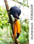 common toucan bird sitting on... | Shutterstock . vector #553826209
