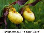 Yellow Lady Slipper Orchid Macro