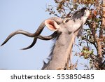 Kudu Bull Browsing On Some...