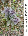 Small photo of Ajuga green plant with blue flowers