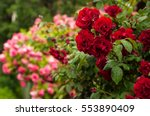 Stock photo red and pink roses with buds on a background of a green bush bush of red and pink roses roses 553890409