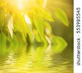 eucalyptus sunny green leaves... | Shutterstock . vector #553985545