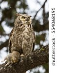 This Juvenile Great Horned Owl...