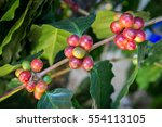 coffee tree with coffee bean on ... | Shutterstock . vector #554113105