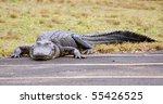 Urban Alligator
