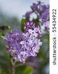 Blooming Common Lilac  Syringa...
