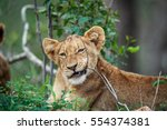 Lion Cub Chewing On A Stick In...