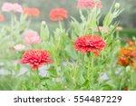 flowers in the garden with... | Shutterstock . vector #554487229