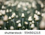 chrysanthemum not yet in full... | Shutterstock . vector #554501215