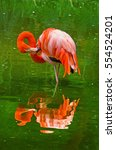 Small photo of flamingos in nature. (Phoenicopterus ruber), also known as the American flamingo.