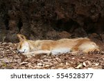 A Dingo Sleeping In The...