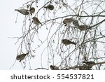 Small photo of Common redpoll (Acanthis flammea) sitting on a branch