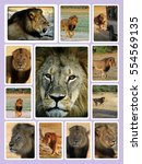 Small photo of Collage of Cecil the Iconic Hwange Lion who was killed in July 2015 causing uproar amongst animal lovers all over the owrld