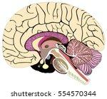 median section of human brain... | Shutterstock . vector #554570344