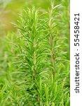 rosemary | Shutterstock . vector #55458421