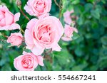 Stock photo natural background roses 554667241