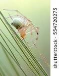 Small photo of macro close up shot of a tangle-web spider (<i> Theridiidae sp. </i>) on a spike. isolated background.