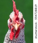 Domestic White Hen With Red...