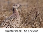 Pheasant Male Bird In A Dunes...