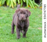 Labrador  Puppy Standing In Th...