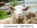 Stock photo funny sheep portrait of sheep showing tongue 554749171
