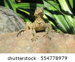 Lizard On A Rock In Queensland...