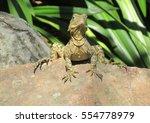 Lizard On A Rock In Queensland...