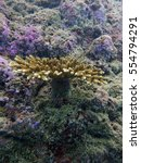 Small photo of Branching or staghorn coral (Acropora sp.) on the rock substrate