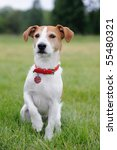 Parson Jack Russell Terrier...