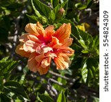showy pink suffused with orange ... | Shutterstock . vector #554824309