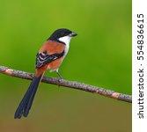 beautiful black and orange bird ... | Shutterstock . vector #554836615