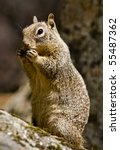 Grey Squirrel Having A Snack...