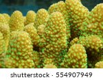 Small photo of Close up of finger coral with open polyps, Acropora humilis, underwater marine life, Pacific ocean, French Polynesia