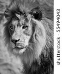 lion in black and white | Shutterstock . vector #55494043