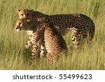 Cheetahs in golden afternoon light, Okavango, Botswana - stock photo
