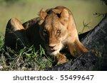Lioness staring intently, Okavango, Botswana - stock photo