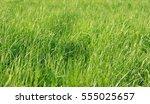 fresh grass growing in a field... | Shutterstock . vector #555025657