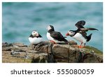Puffins On A Rock With A...