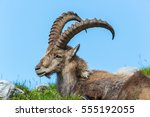Small photo of Natural alpine ibex sitting in meadow with blue sky