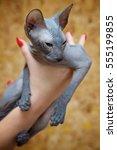 gray peterbald hairless kitten... | Shutterstock . vector #555199855