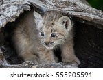 canada lynx kitten  very young  ... | Shutterstock . vector #555205591