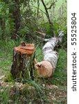 birch stump and trunk of  birch ... | Shutterstock . vector #55525804