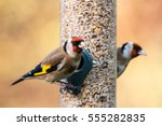 Two Goldfinches  Carduelis...