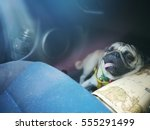 Lovely Pug Dog Hot In Car
