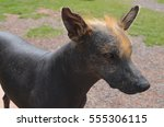 peruvian hairless dog | Shutterstock . vector #555306115