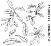 hand drawn branches and leaves... | Shutterstock .eps vector #555308911