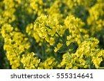 Canola  Rapeseed  Colza Flower...