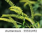 Small photo of Giant Ragweed flowers (Ambrosia trifida)