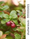 Small photo of loganberry prosratsya in the North-East of Russia close-up.